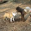 BUDDY (bulldog pup) & POODLES_3