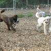 BUDDY (bulldog pup) & POODLES_1