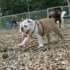 BUDDY (bulldog pup)_3