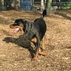 BEAU (rottweiler w  tail pup)_1