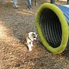 BUDDY (bulldog pup)_1