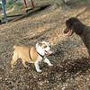 BUDDY (bulldog pup) & POODLES_2