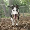 BUD (bull terrier)_3