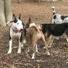 BUD (bull terrier)_2