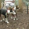 BUD (bull terrier)_1