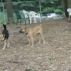 BRODY (african mastiff pup)_1