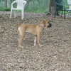BRODY (african mastiff pup)_3