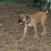 BRODY (african mastiff pup)_2