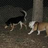 BUDDY (bulldog pup_1