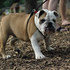 BUDDY (bulldog pup)_4