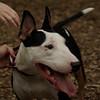 BUD (bull terrier)_5