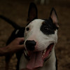 BUD (bull terrier)_8