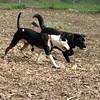 BUD (bull terrier), Harvey_1