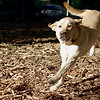 Annie (yellow lab)_1