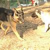 FAITH & SOPHIE (mastiff pup)_1