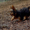 Teddy, little Nola (tecup yorkies)_6