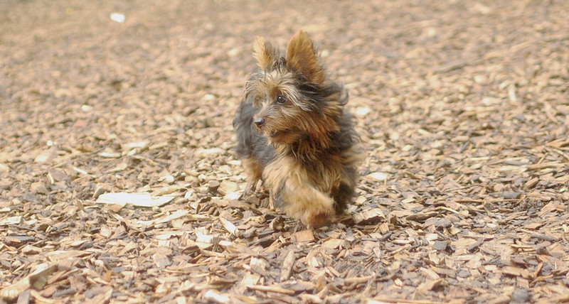 Teddy, little Nola (tecup yorkies)_45
