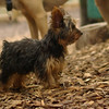 Teddy, little Nola (tecup yorkies)_17
