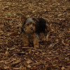 Teddy, little Nola (tecup yorkies)_9