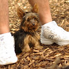 Teddy, little Nola (tecup yorkies)_25