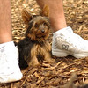 Teddy, little Nola (tecup yorkies)_26