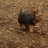 Teddy, little Nola (tecup yorkies)_33