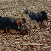 Teddy, little Nola (tecup yorkies)_12