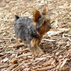 Teddy, little Nola (tecup yorkies)_52