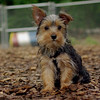 Teddy, little Nola (tecup yorkies)_16