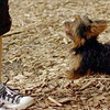 Teddy, little Nola (tecup yorkies)_51