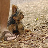Teddy, little Nola (tecup yorkies)_20