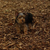 Teddy, little Nola (tecup yorkies)_10