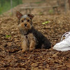 Teddy, little Nola (tecup yorkies)_14