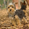 Teddy, little Nola (tecup yorkies)_28