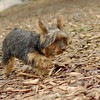 Teddy, little Nola (tecup yorkies)_21