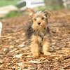 Teddy, little Nola (tecup yorkies)_4