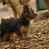 Teddy, little Nola (tecup yorkies)_18