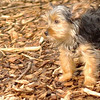 Teddy, little Nola (tecup yorkies)_2