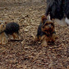 Teddy, little Nola (tecup yorkies)_8