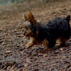 Teddy, little Nola (tecup yorkies)_5