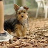 Teddy, little Nola (tecup yorkies)_23