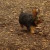 Teddy, little Nola (tecup yorkies)_34