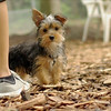 Teddy, little Nola (tecup yorkies)_24