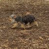Teddy, little Nola (tecup yorkies)_32