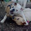 Buddy (bulldog), Fraser (pup)_2