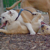 Buddy (bulldog), Fraser (pup)_4