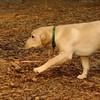 FRASER (lab  puppy)_1
