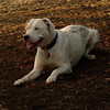POWDER (new, pitbull)_2