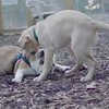 Buddy (bulldog), Fraser (pup)_3
