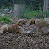 HAZEL (pup) , FRASER (pup)_3